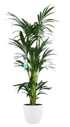 Kenthia Palm in pot