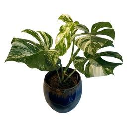 Monstera variegata