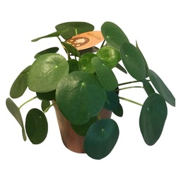 Pilea Peperomioides/ pannekoekenplant