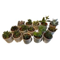 Vetplanten/ cactussen in pot