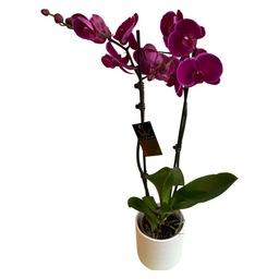 Roze phalanopsis ( orchidee)