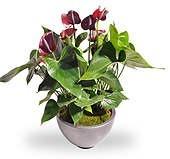 Anthurium rood met sierpot