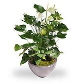 Anthurium wit met sierpot
