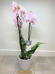 Orchidee 5 * quality met sierpot lichtroos.