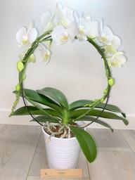 Orchidee 5* quality boogvorm met sierpot