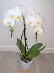 Orchidee 5 * quality  druppelvorm met sierpot.