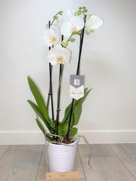 Orchidee 5 * quality  met sierpot wit.