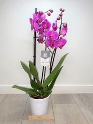 Orchidee 5 * quality donkerroos met sierpot.