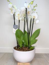 Witte orchideeën 5 * quality in schaal